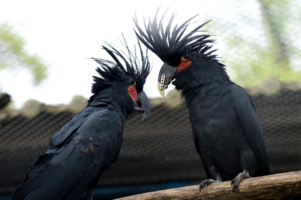 棕榈凤头鹦鹉