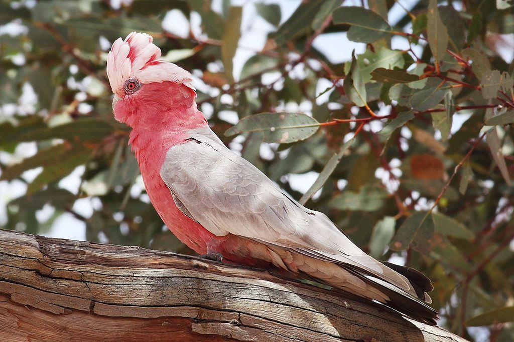粉红凤头鹦鹉