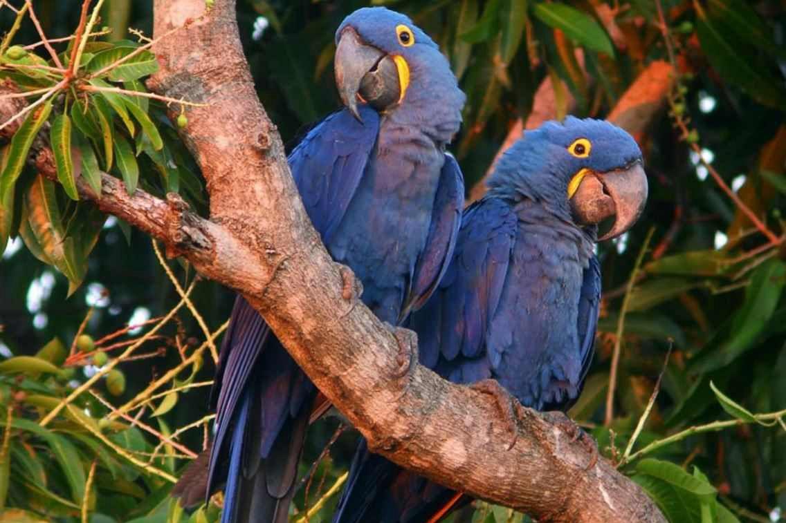 紫蓝金刚鹦鹉