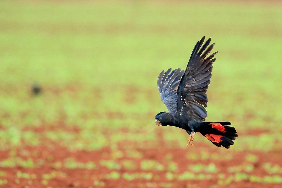 红尾黑凤头鹦鹉(黑葵)
