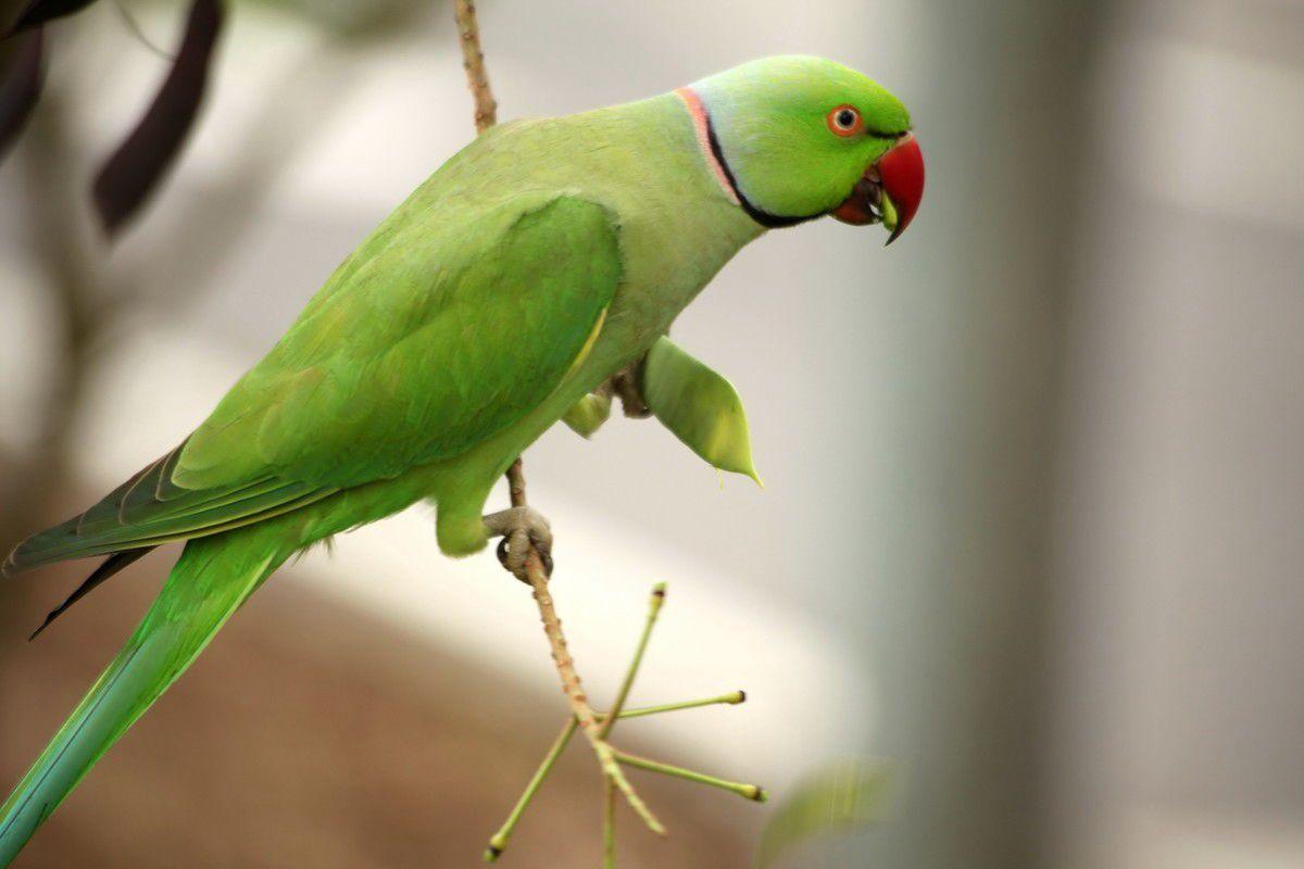 红领绿鹦鹉(环颈鹦鹉、月轮鹦鹉)