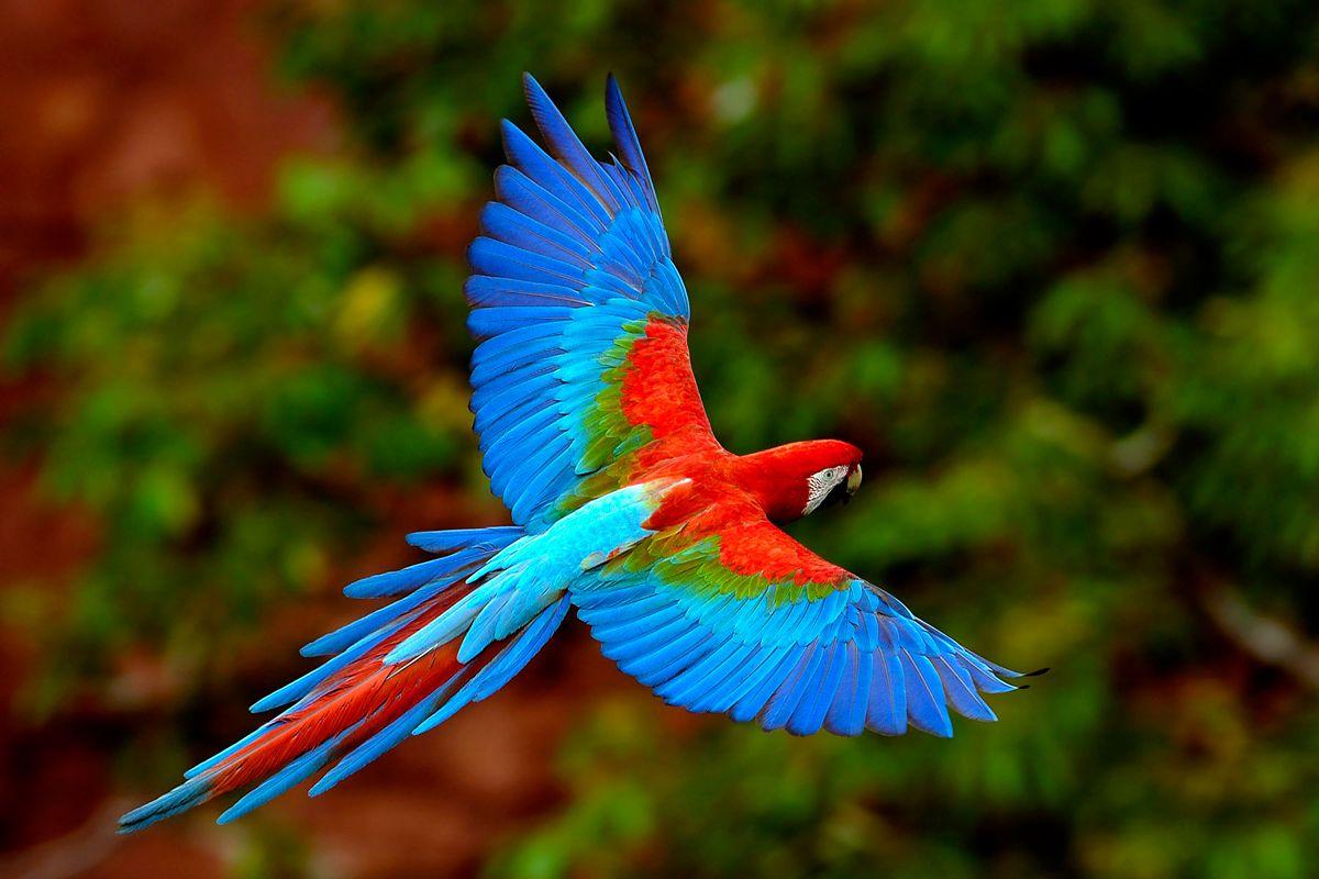 绿翅金刚鹦鹉
