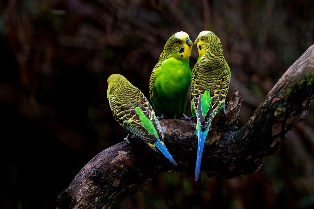 虎皮鹦鹉(原始种)
