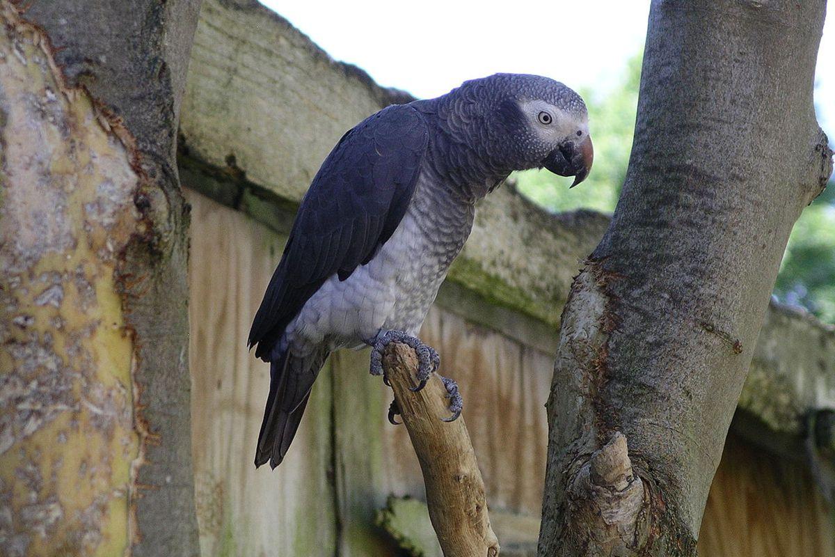 非洲灰鹦鹉