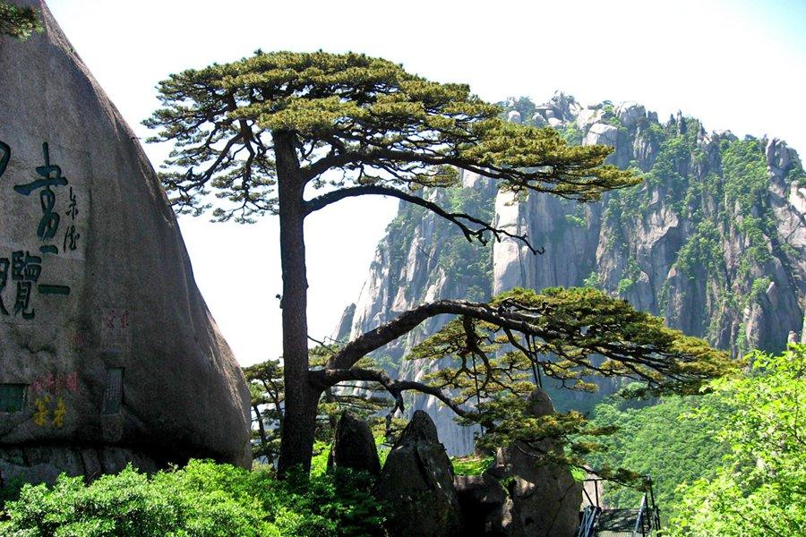 最著名的松树
